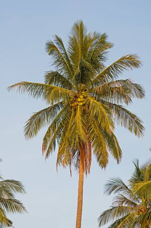 palm fruits: coconut palm top with fronds and coconuts