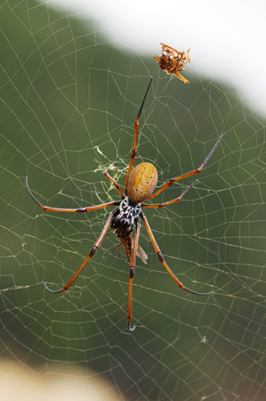 tropical spider with fly it caught in its web Banco de Imagens - 70783872