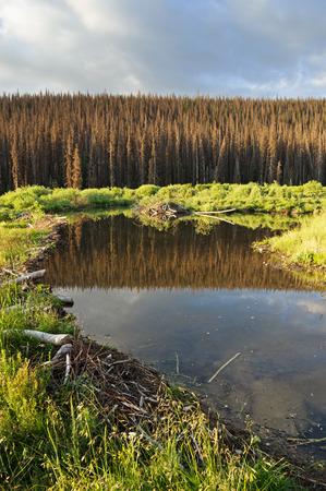 arboles secos: dique de castores y un estanque con casa de campo con árboles muertos en el fondo