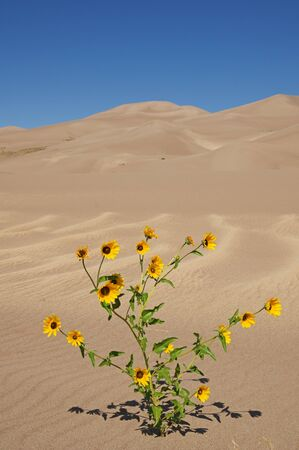 yellow prairie sunflowers at Great Sand Dunes National Park in Colorado Фото со стока