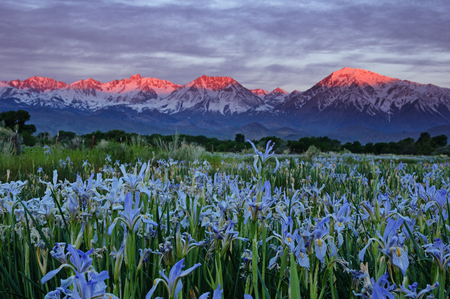 wild iris flowers in a field with early morning Sierra Nevada Mountains in the background Stock Photo