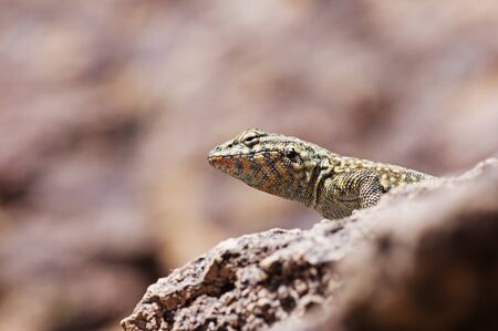 head of the side-blotched lizard on a rock viewed from slightly below with copy space