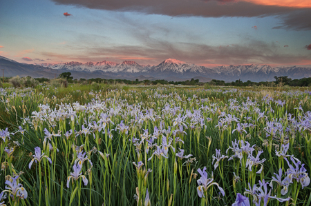 wild iris meadow with Sierra Nevada mountains in the background at sunrise