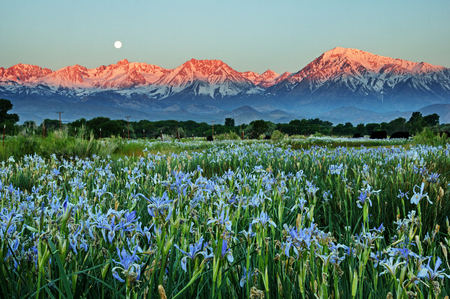 wild iris flowers below early morning mountains with the moon setting