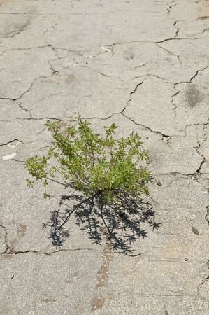 plant growing up through cracked asphalt pavement showing the triumph of nature Banco de Imagens