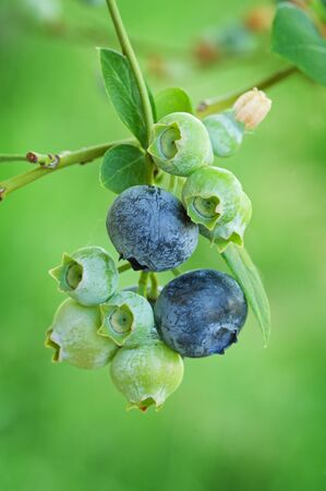 blueberries ripen on a bush with green background Banco de Imagens