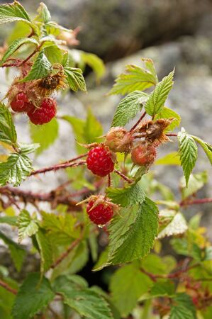 wild raspberry growing on a plant recently wetted by rain Banco de Imagens