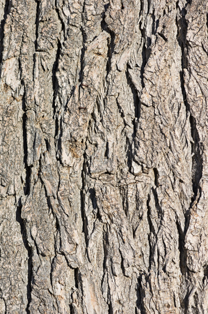 mature cottonwood tree bark background texture image