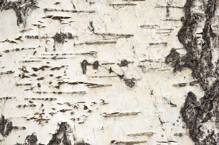 photo of aspen tree bark background texture