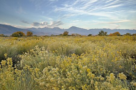 morning in the Owens Valley near Bishop California in the fall with rabbitbrush in the foreground