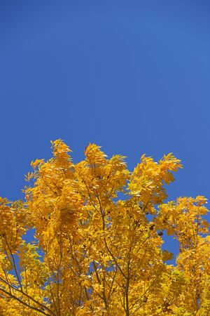 Image of bright yellow autumn leaves against a blue sky