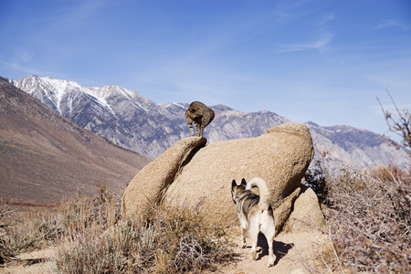 a cat on a rock puffs up and hisses at a dog below it in the desert