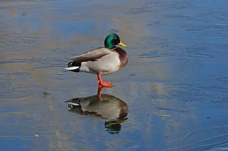male mallard duck standing on thin ice with reflection Banco de Imagens