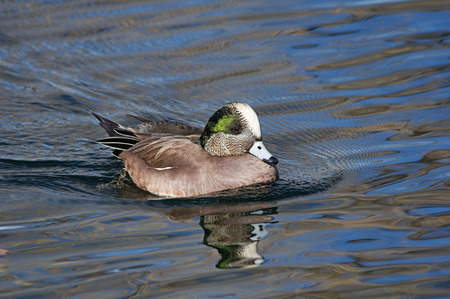 male American widgeon duck swims on the water
