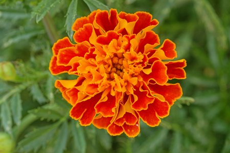 macro image of orange marigold flower with green background