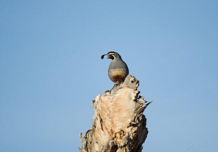male California Quail or Callipepla californica perched on a dead log