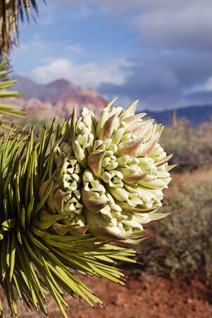 Vertical image of Joshua Tree or Yucca brevifolia flower at Red Rock Conservation Area in Nevada Banco de Imagens - 98594739