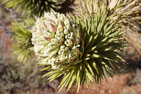 joshua tree or Yucca brevifolia flower with selective focus Banco de Imagens - 99797517