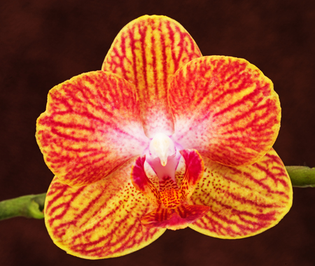 yellow pink and red phalaenopsis orchid flower on brown background Banco de Imagens - 99838504