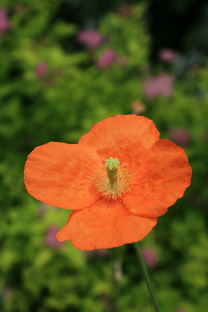 single orange poppy flower with out of focus flowers in the background