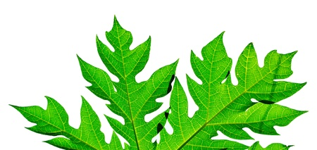 Leaves of papaya tree isolated on white background,Papaya leaf isolated on white,Papaya leaves Isolated in white background,papaya leaves, front and back, against white background,Elements of the papaya leaves are very beautiful