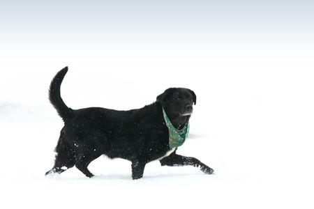Black Labrador Reklamní fotografie