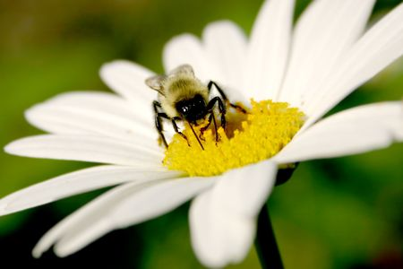 invertebrates: Bee on daisy