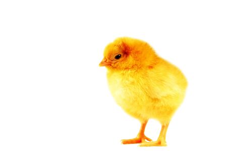 2 day old yellow chick standing with white background Stock Photo - 891565