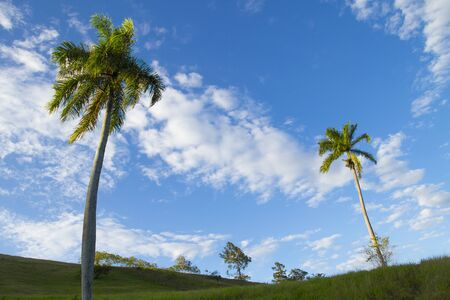 tall royal palm trees (roystonea regia) in light green grassy hills and vivid blue sky with scattered high level clouds