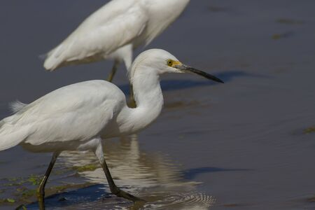 white egret in a wet farming location in search of food which could be fishes or insects