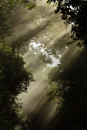 Sun beams pour through trees in  forest  Stock Photo - 8455634