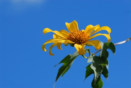 Mexican sunflower photo