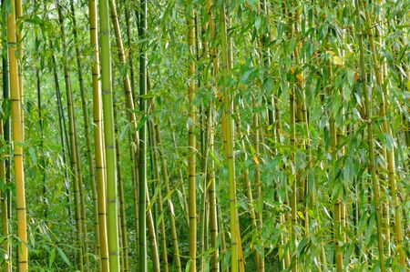 Row of bamboo