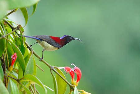 sunbird: Black throat sunbird