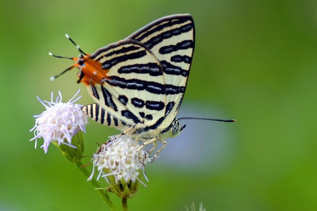 silverline: Butterfly and flower (Club Silverline)