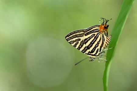 silverline: Butterfly (Small Long-banded Silverline) Stock Photo