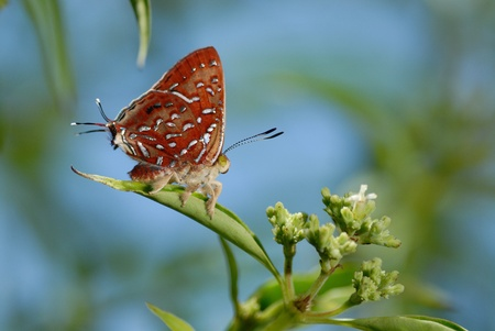 silverline: Butterfly (The Aberrant Silverline) Stock Photo