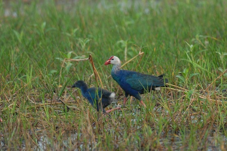 purple swamphen: Purple Swamphen Stock Photo