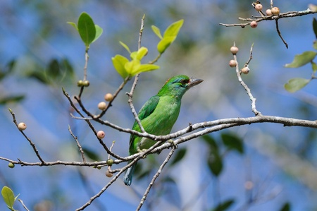 moustached: Moustached  Barbet Stock Photo