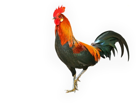 Rooster isolated on white background photo