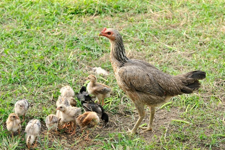 Closeup of a mother chicken with its baby chicks in grass photo