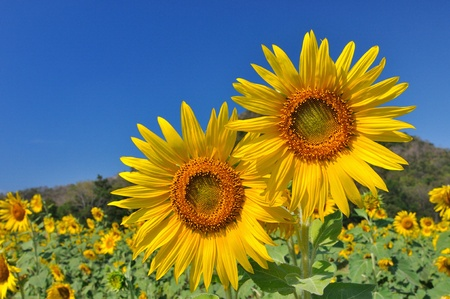 Beautiful sunflowers in the field with bright blue sky Stock Photo - 11690529