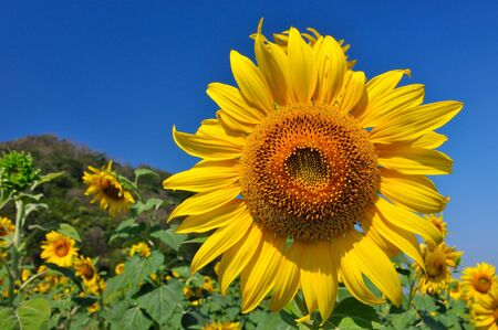 Beautiful sunflowers in the field with bright blue sky photo