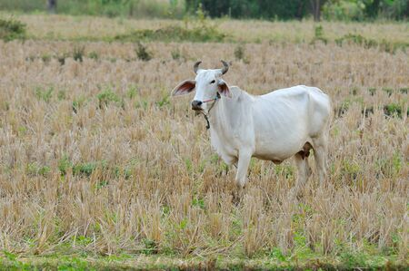 lineage: Asian bloodline cow in tropical field Stock Photo