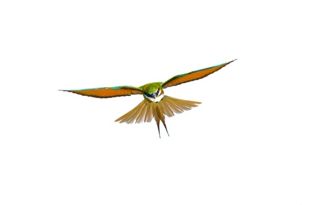 Flying Blue-tailed Bee-eater isolated on white background photo