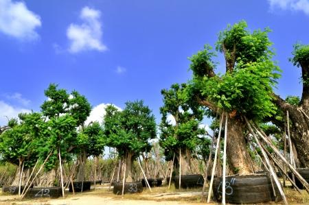 transplanting: Tree for transplanting,Thailand Stock Photo