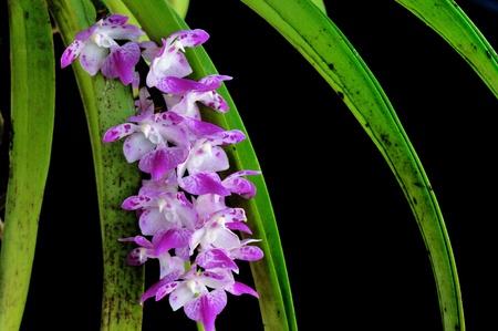 Beautiful purple orchid photo