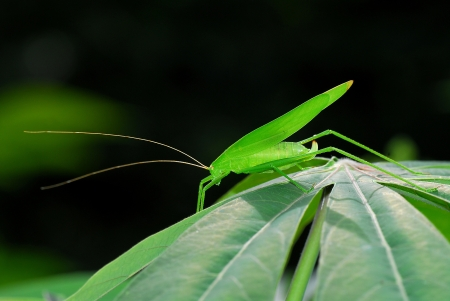 Grasshopper in nature,Thailand photo