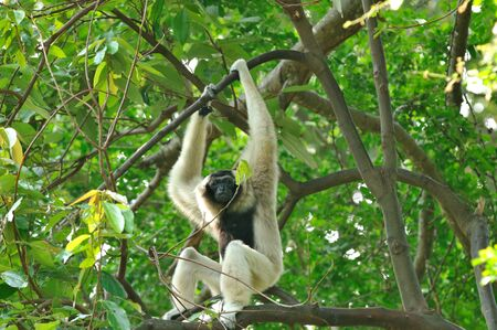 White Gibbon  Stock Photo - 13671983