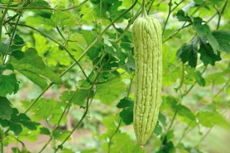 vine pear: Bitter melon,Thailand